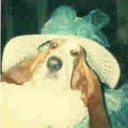 Ambrose The Basset Hound