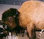 Hornaday's Bull Big Bull the Buffalo