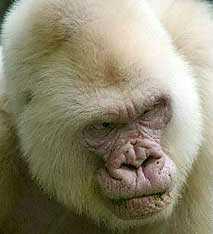 Snowflake Gorilla