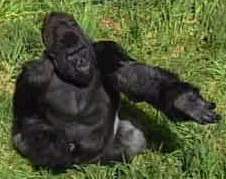 Kubi The Gorilla