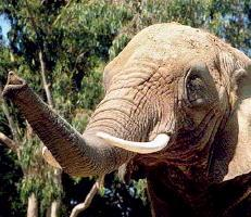 Maybelle the Elephant