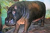Huberta (the Hippo)