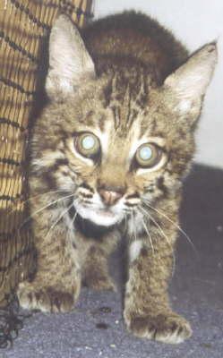 Slowpoke The Bobcat