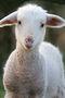 Moe Baby Lamb Dodd