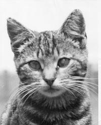Tiger The <i>Cat</i> Batzka