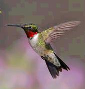 Beauty The Hummingbird
