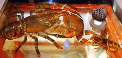 Bubba The <i>Leviathan</i> Lobster