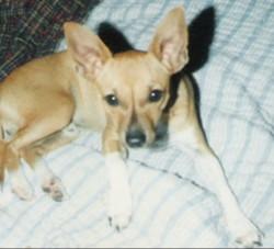 Jay Chihuahua