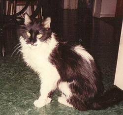 Zeban Cat