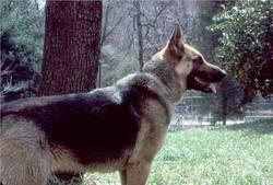 Schatten Dog
