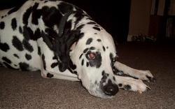 Beauregard Beau Dog