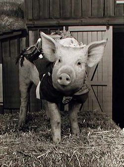 Arnold the Pig
