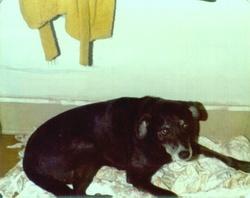 Susie Black Labrador Retriever Allen
