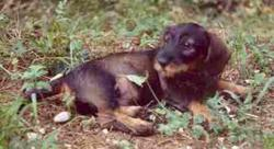 Stupsi Dog