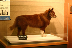 Balto the Wonder Dog