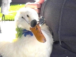 Sebastian (Duck)