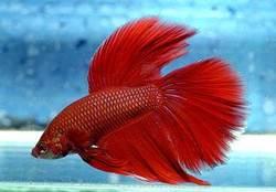My Fish Varitek