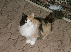 Harlequin Cat Carpenter