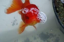 Bubbles Oranda Goldfish
