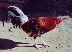 Sarge The Rooster