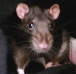 Jericho The Wonder Rat