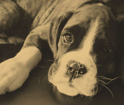 Boo Boxer Dog