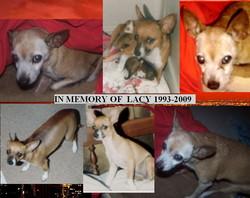 Lacy Chihuahua