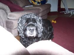 Beau Dog Steed
