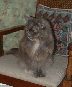 Sweet Pea <i>Lane-Ward</i> Cat