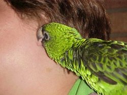 Joey The Parrot