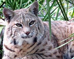 Windsong Bobcat