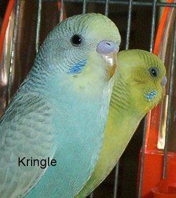 Kringle & Kenzie Budgies