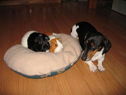 Bandit, Cream Puff & Valentine <i>Guinea pigs</i> Heywood