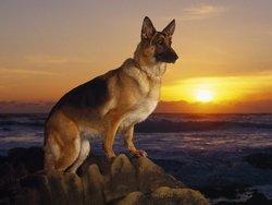 Sheba The Dog
