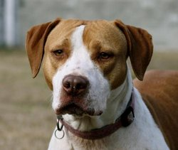 Jada American Bulldog LeBron