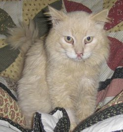 Creamsicle The Cat