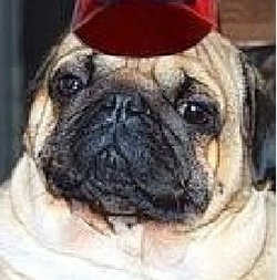 Roy The Pug