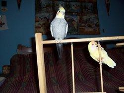 Ra Peanut Lovebird