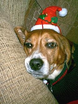 Murphy Brown Beagle The Murph Colter