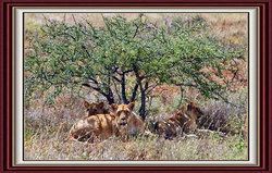 Mbeuti The Lioness