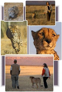 Chewbaaka The Cheetah