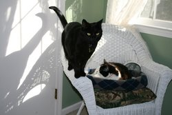 Cassie Cassandra Six Toes Cat,