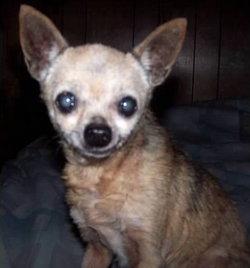 Jane-Jane Chihuahua