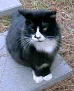 Sylvester Bachman Syllie Cat
