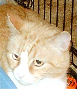 Goblin Bachman Golden Boy Cat