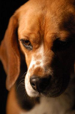 The Beagle Spencer