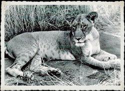 Elsa Lioness Adamson