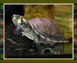 Tina Turtle Ray