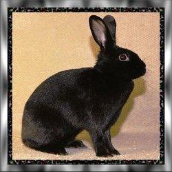 "Oreo ""Rabbit"" Roach"