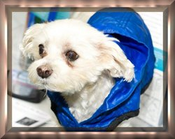 Lucky, a little dog with a big mission, dies in NY She Diamond